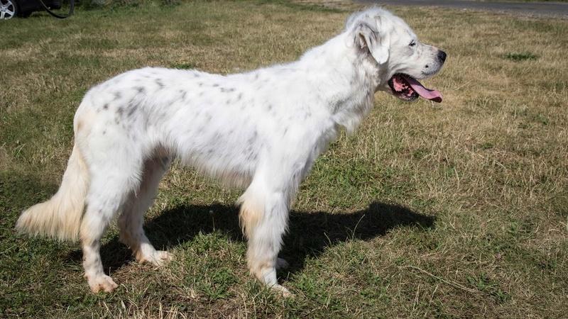 MONZON chien croisé dogue /retriever 6 ans -  Asso Orfee en pension dept 79 Img_8715