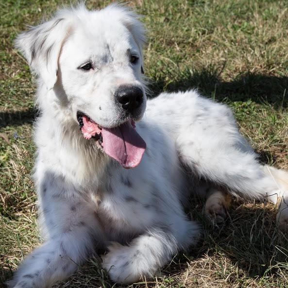 MONZON chien croisé dogue /retriever 6 ans -  Asso Orfee en pension dept 79 Img_8716
