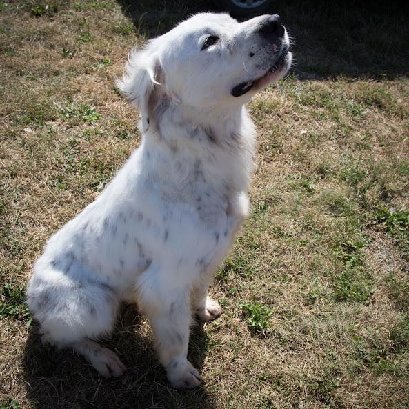 MONZON chien croisé dogue /retriever 6 ans -  Asso Orfee en pension dept 79 Img_8810