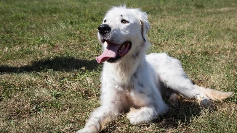 MONZON chien croisé dogue /retriever 6 ans -  Asso Orfee en pension dept 79 Img_8812
