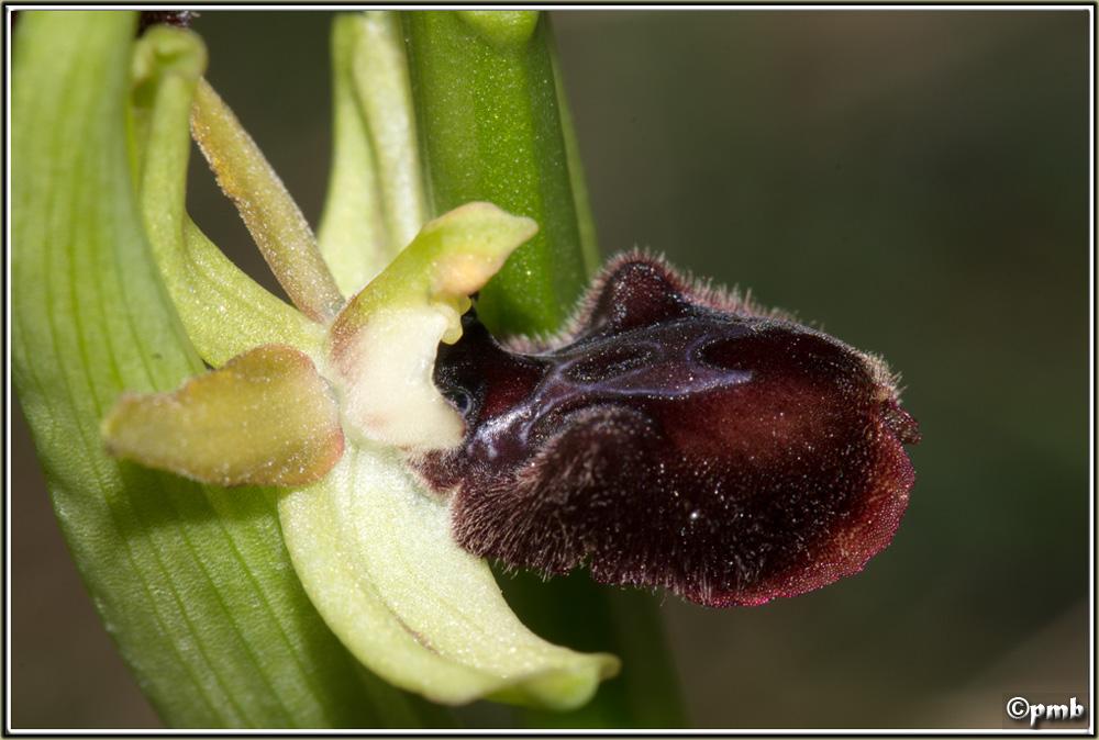 Pas moins de 4 ophrys différents le 17/02/17 à Sophia (06) 2017-027