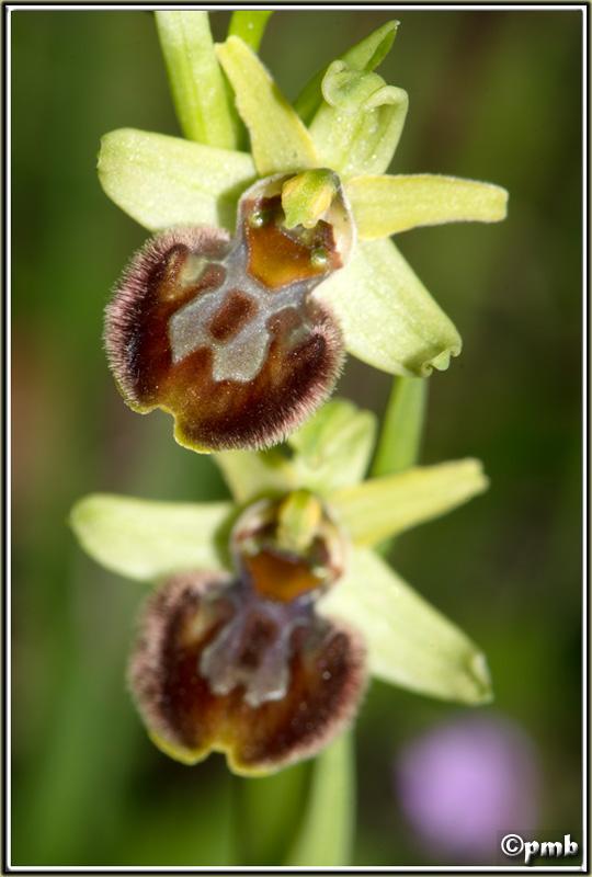 Pas moins de 4 ophrys différents le 17/02/17 à Sophia (06) 2017-030