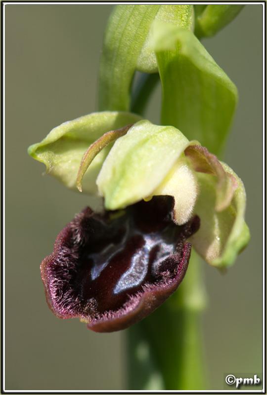 Pas moins de 4 ophrys différents le 17/02/17 à Sophia (06) 2017-031