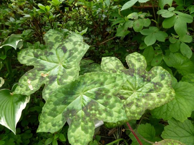 Podophyllum - le genre 02-05-11