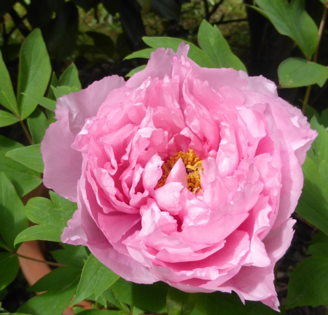 Paeonia - pivoines arbustives - Page 3 08-04-10