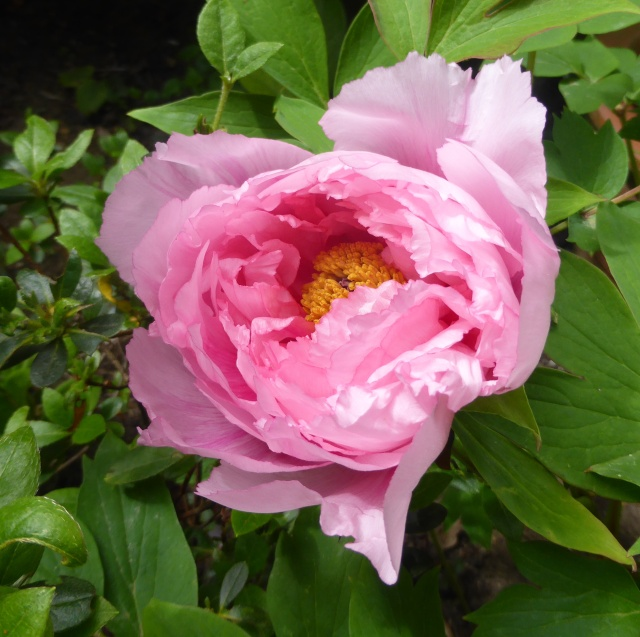 Paeonia - pivoines arbustives - Page 3 08-04-11