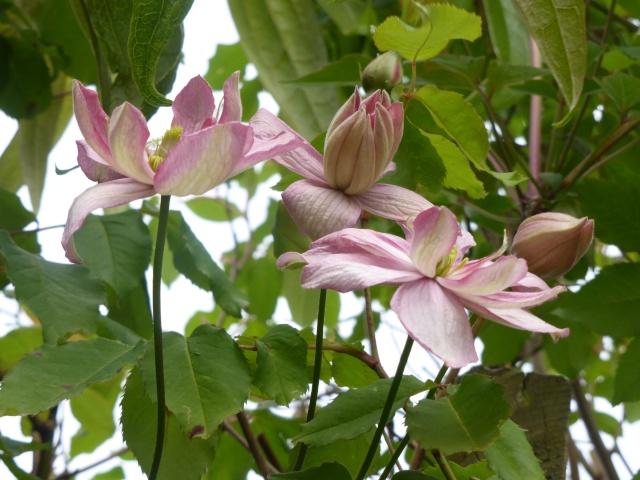 Clematis montana hybride 11-04-10