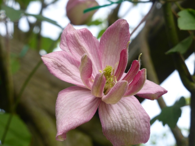 Clematis montana hybride 11-04-11