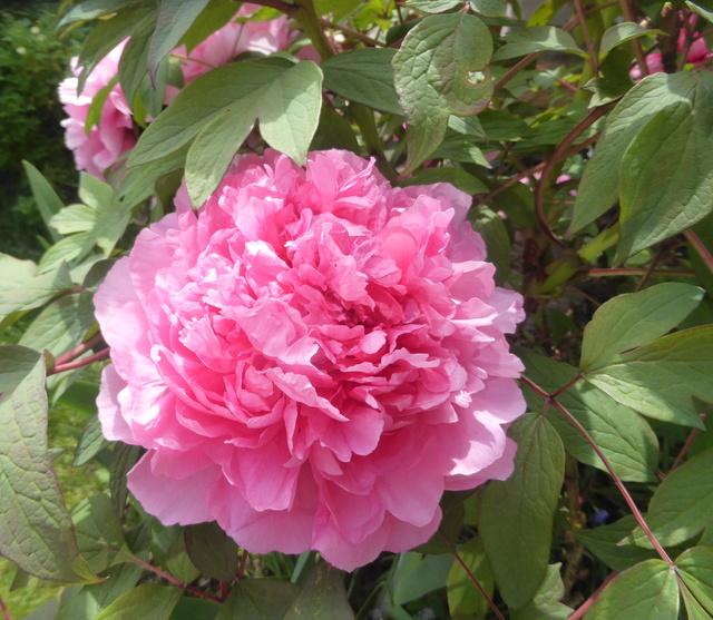 les pivoines arbustives de mon jardin: je les adore 13-04-12