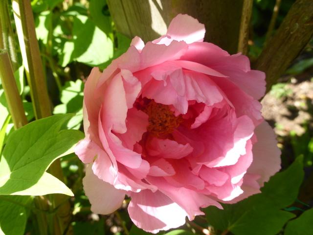 les pivoines arbustives de mon jardin: je les adore 19-04-10
