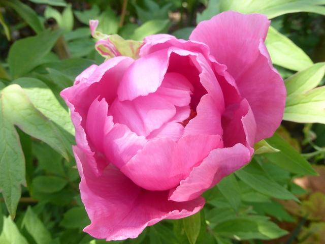les pivoines arbustives de mon jardin: je les adore 19-04-11