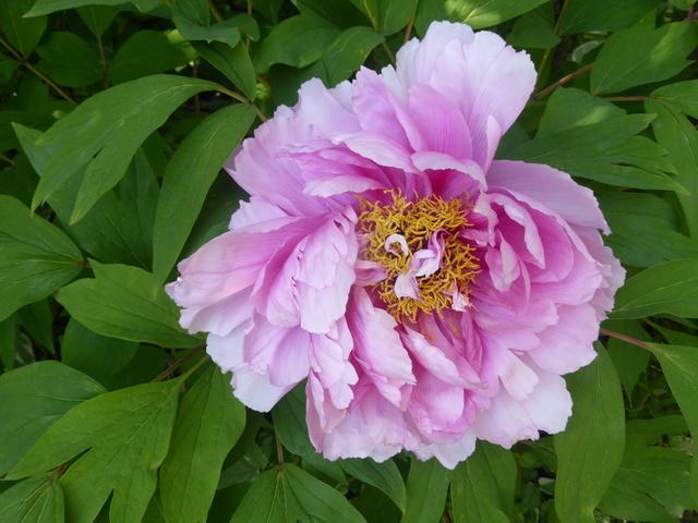 les pivoines arbustives de mon jardin: je les adore 19-04-12