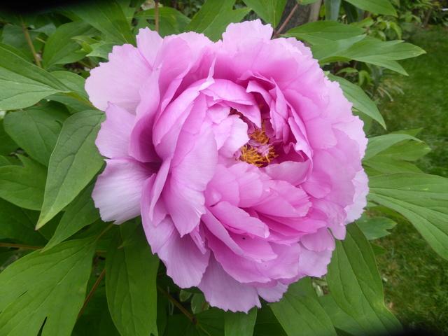 les pivoines arbustives de mon jardin: je les adore 19-04-13