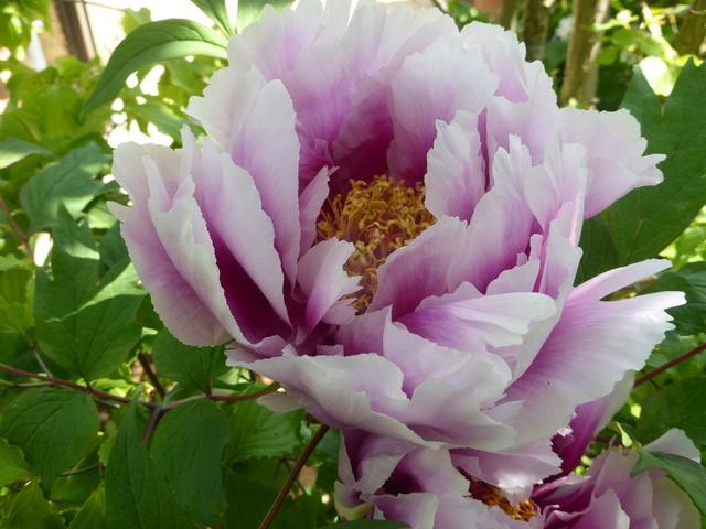 les pivoines arbustives de mon jardin: je les adore 19-04-14