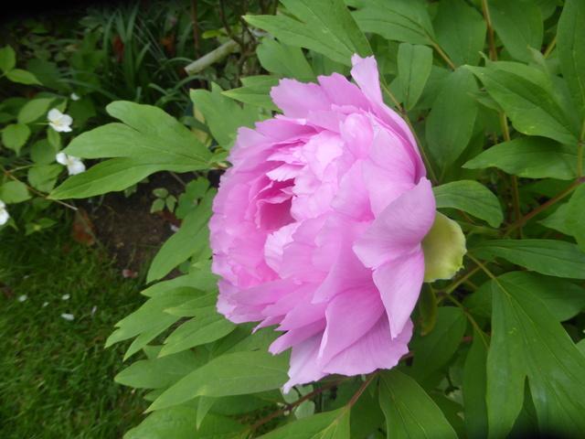 les pivoines arbustives de mon jardin: je les adore 19-04-15