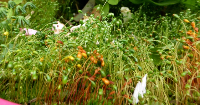 Bryum ? et Marchantia polymorpha [id. non terminée] 22-05-10