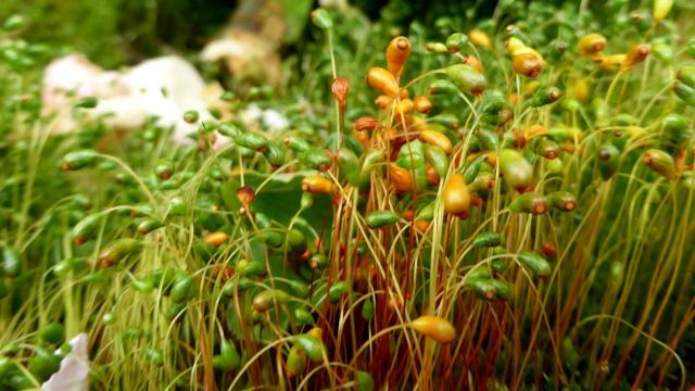 Bryum ? et Marchantia polymorpha [id. non terminée] 22-05-12