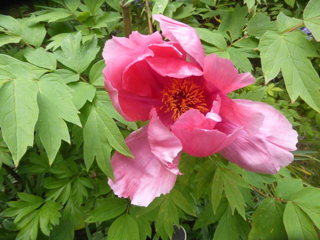 les pivoines arbustives de mon jardin: je les adore 27-04-15
