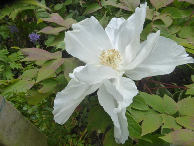 les pivoines arbustives de mon jardin: je les adore 27-04-16