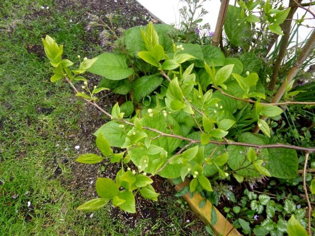 Disporum cantionense 'Green Giant', Sinojackia xylocarpa [devinette] 28-03-10