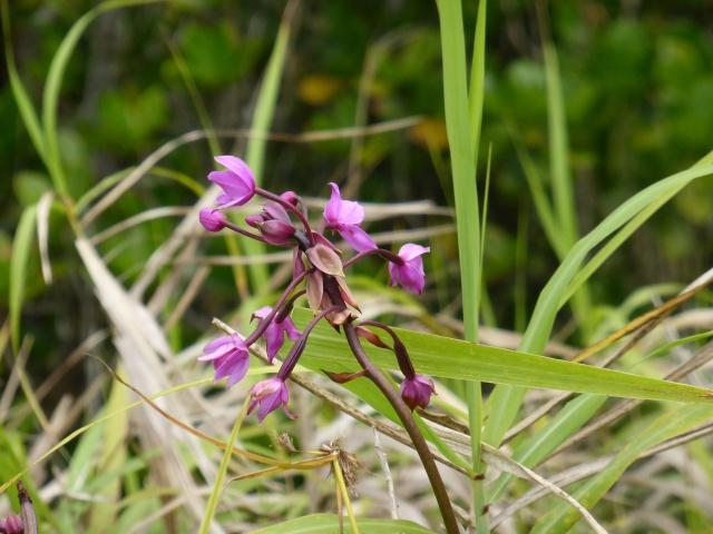 Spathoglottis plicata - in situ  P1010018