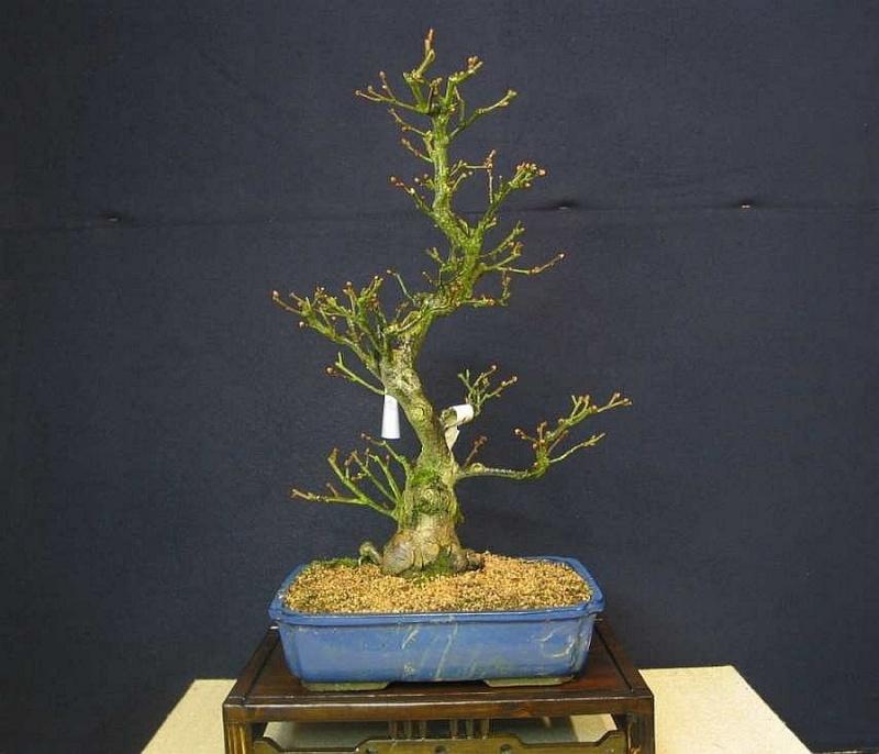 Elaeagnus multiflora from 2005 001_1310