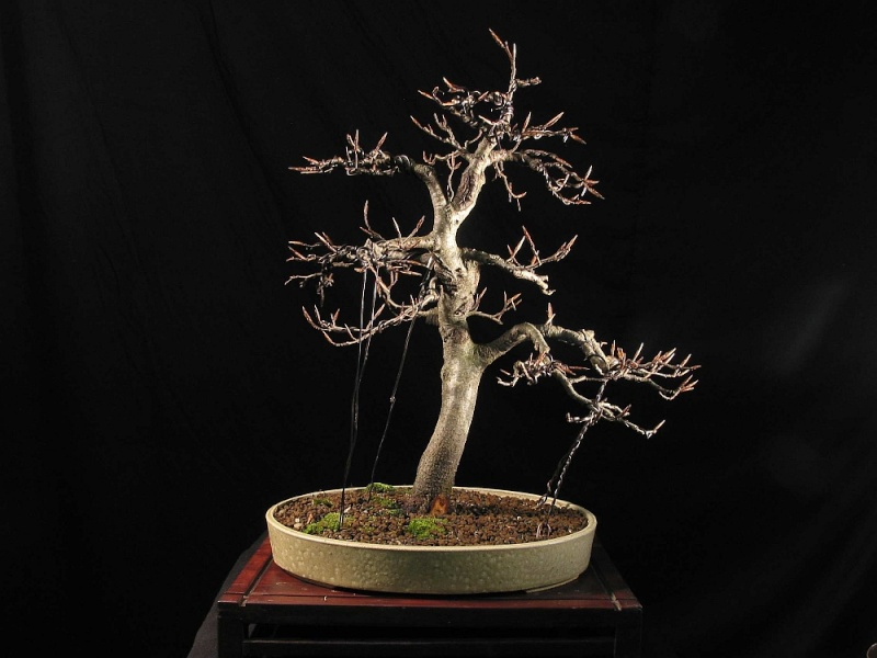 Progress of a Fagus Sylvatica - European Beech from 2003 0105_210