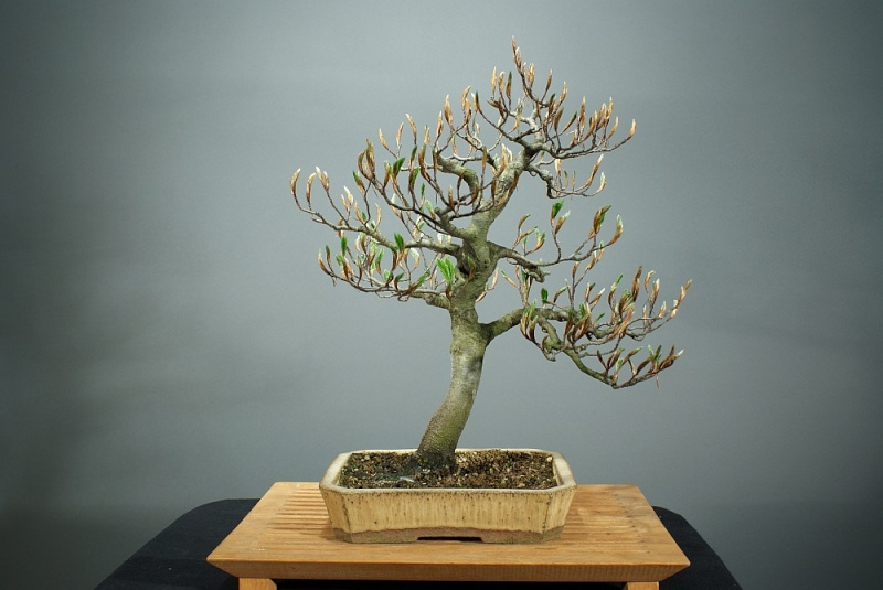 Progress of a Fagus Sylvatica - European Beech from 2003 0120_210