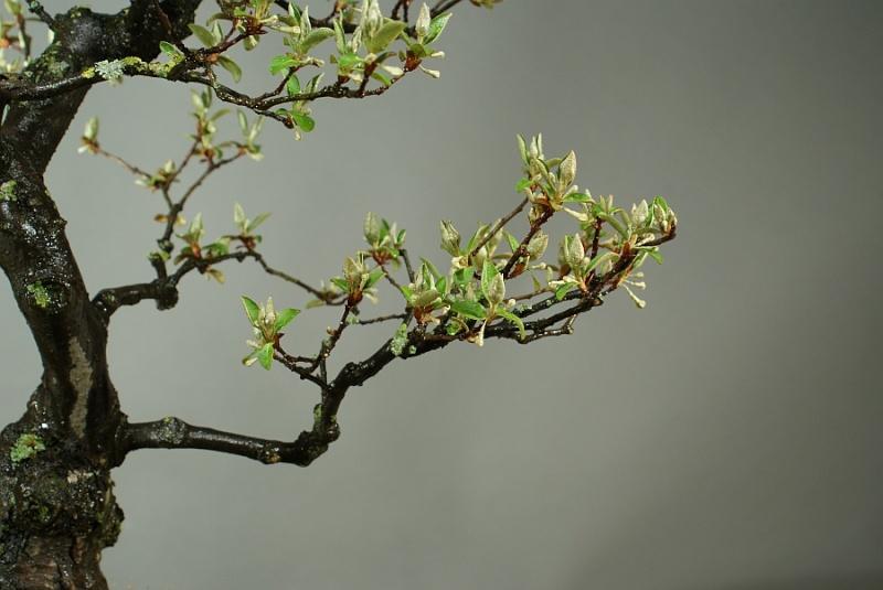 Elaeagnus multiflora from 2005 0141_010