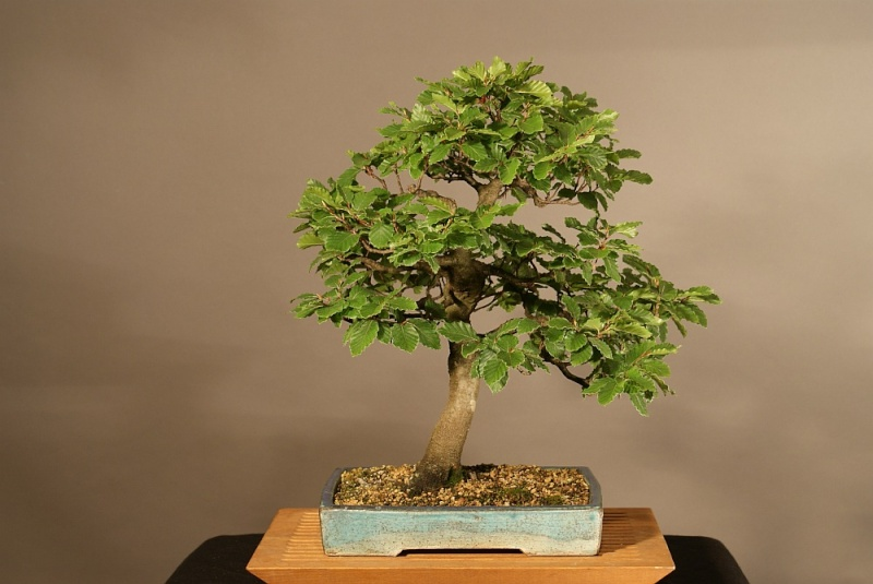 Progress of a Fagus Sylvatica - European Beech from 2003 0173_210
