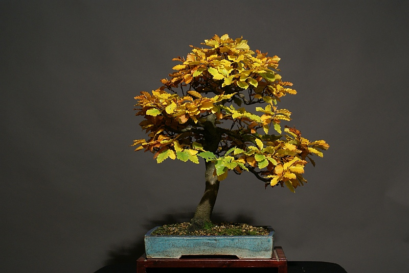 Progress of a Fagus Sylvatica - European Beech from 2003 0186_210