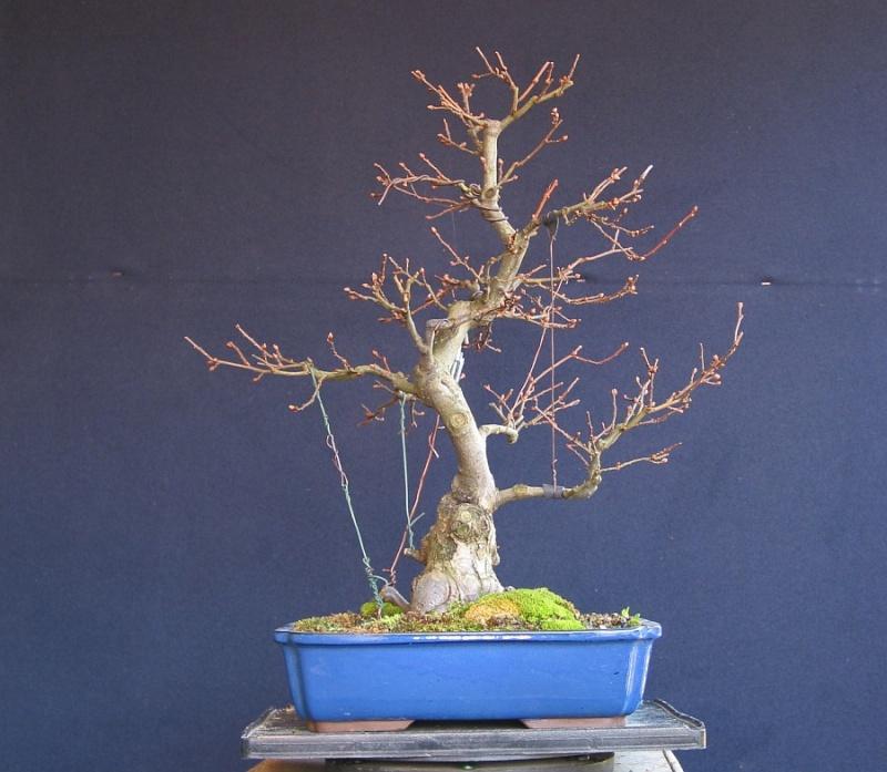 Elaeagnus multiflora from 2005 028_0410