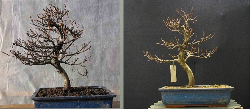 Progress of a Fagus Sylvatica - European Beech from 2003 1st_cu10