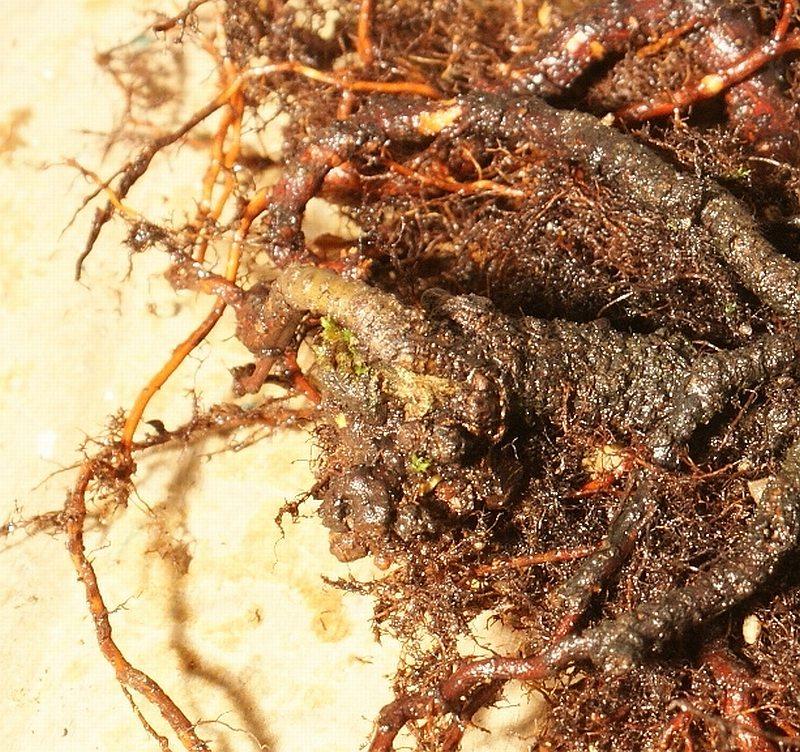 Progress of a Fagus Sylvatica - European Beech from 2003 Roots10