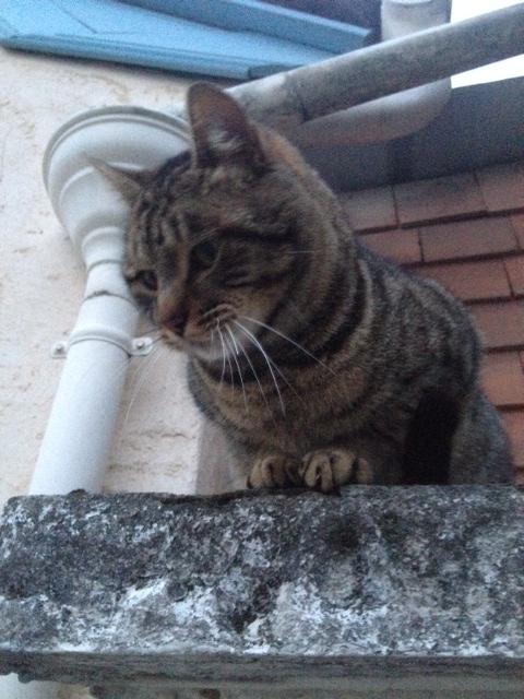 BARNABE, mâle, né le 01/2012    , tabby brown, IE n° 250269802232490 Barnab10