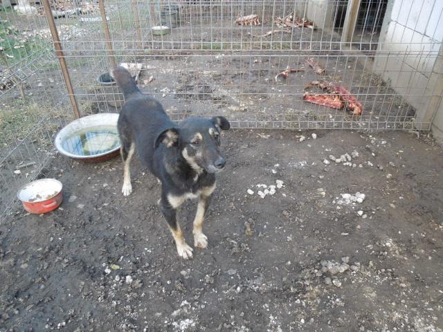EVORA, croisée berger, née en 2009 - Trouvée dans la cour d'une entreprise en 2012 - parrainée par Sky 30 - FB-SOS-SC-R- Evora210