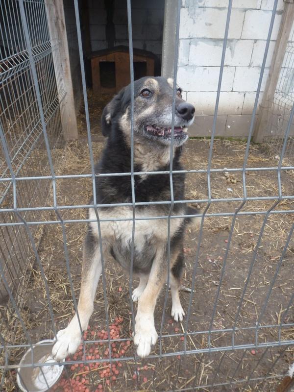 EVORA, croisée berger, née en 2009 - Trouvée dans la cour d'une entreprise en 2012 - parrainée par Sky 30 - FB-SOS-SC-R- Evora_11