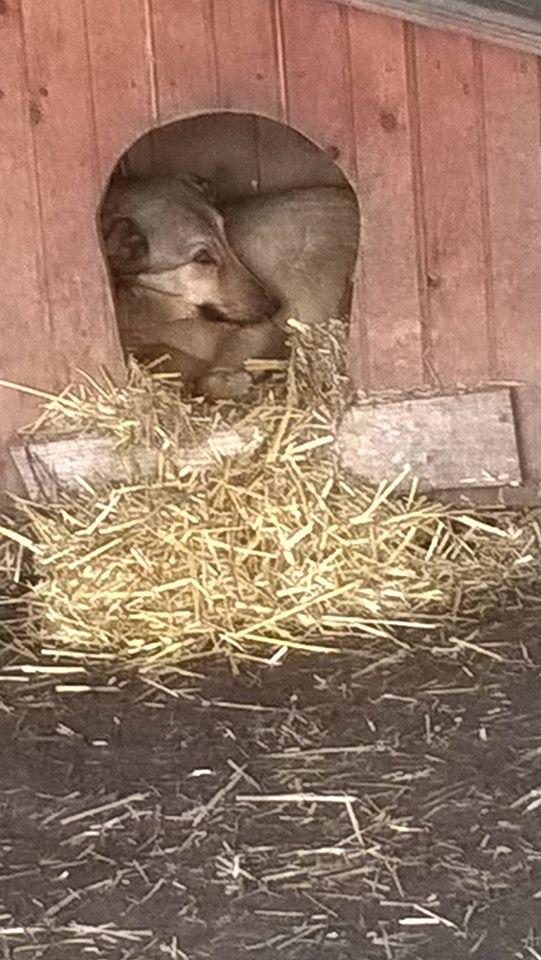 SORINA- femelle croisée berger née en 2016 - parrainée par MAOUSSE54-  sorti de l'équarrissage le 11 mars Nouvea79