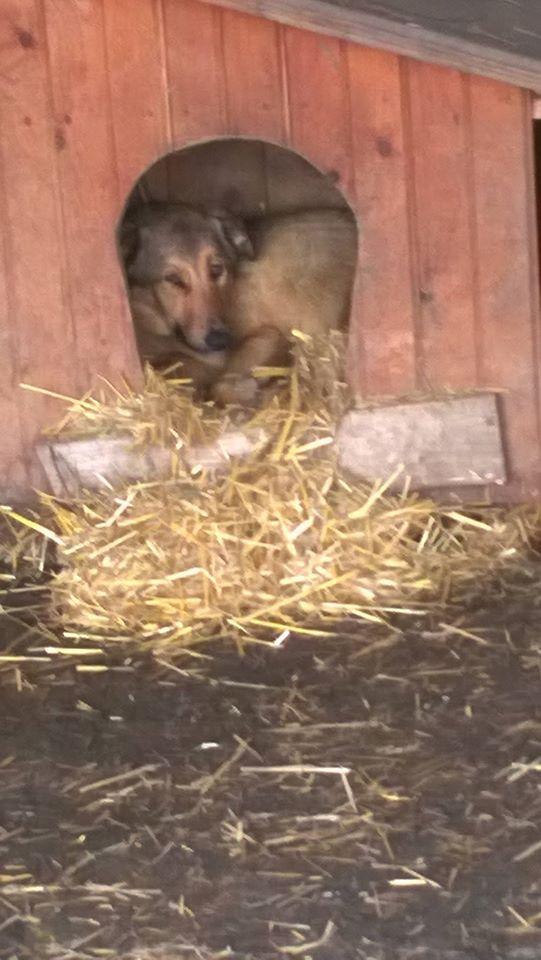 SORINA- femelle croisée berger née en 2016 - parrainée par MAOUSSE54-  sorti de l'équarrissage le 11 mars Nouvea80