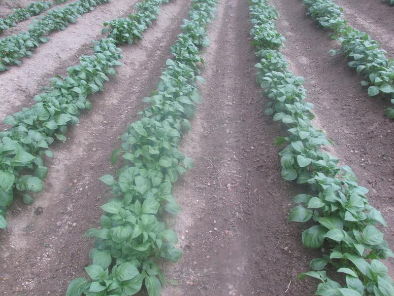 Évolution des cultures de pommes de terre 2017 Patae_10