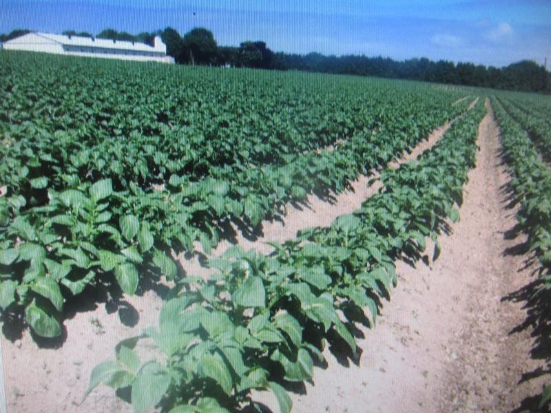 Évolution des cultures de pommes de terre 2017 - Page 3 Pdt_0011