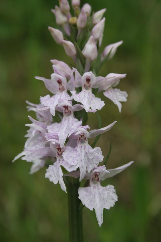 Dactylorhiza fuchsii 06111
