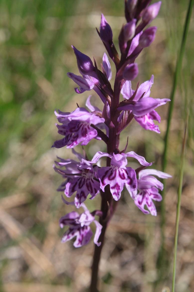 Dactylorhiza fuchsii var alpina Dactyl16