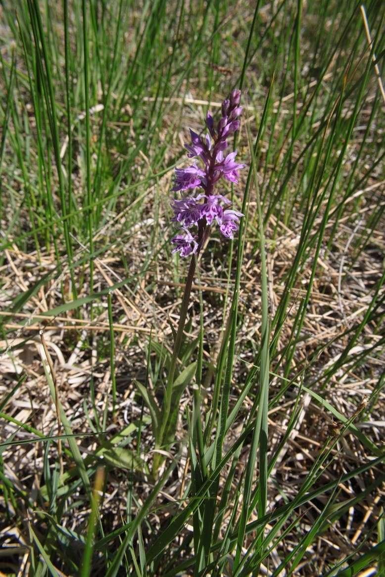 Dactylorhiza fuchsii var alpina Dactyl17