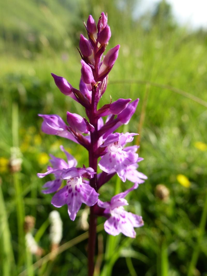 Dactylorhiza fuchsii var alpina Dactyl19