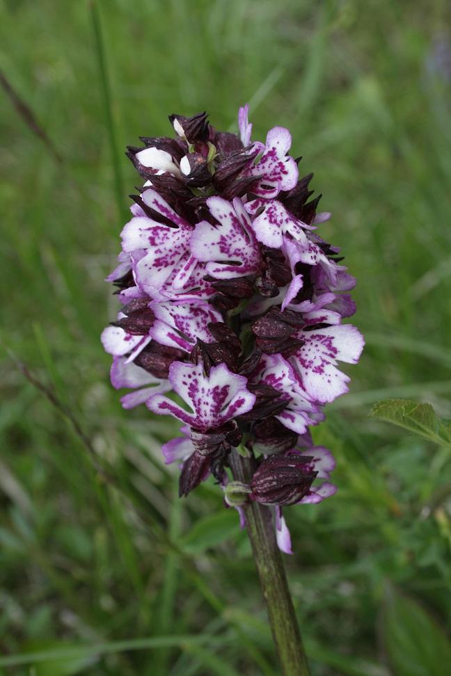 Orchis purpurea Orchis21