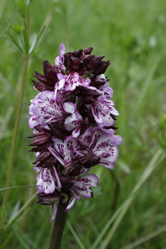 Orchis purpurea Orchis22