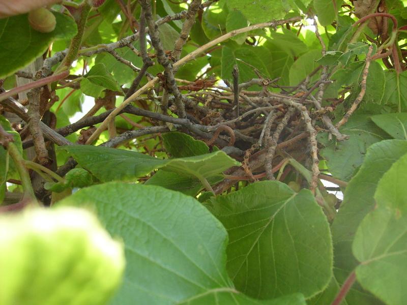 Un nid dans mon kiwi ! S7303718