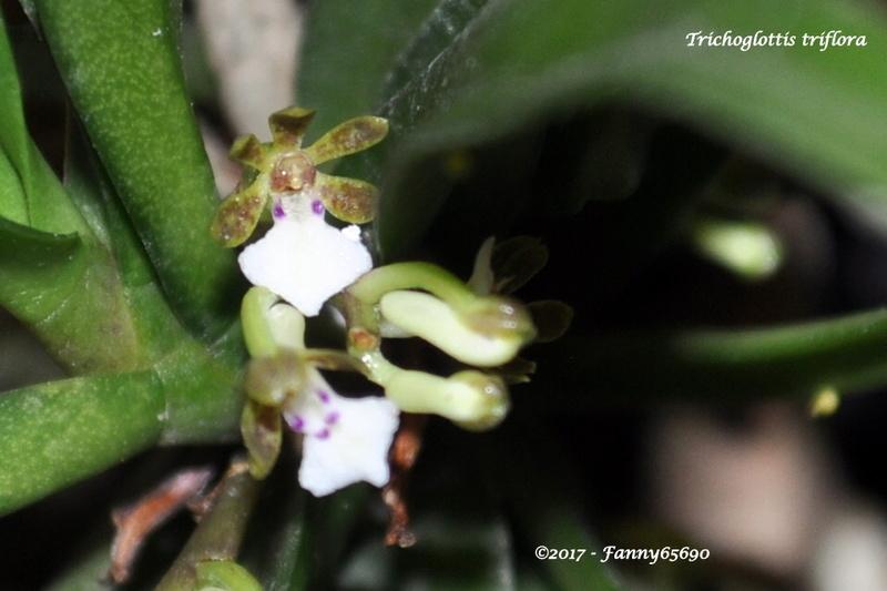 Trichoglottis triflora Csc_0018