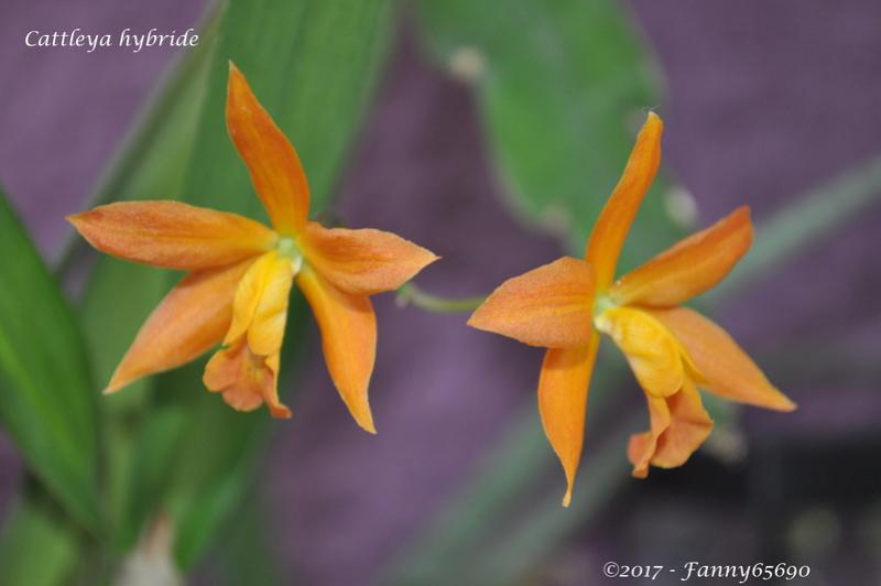 Cattleya hybride Dsc_0211